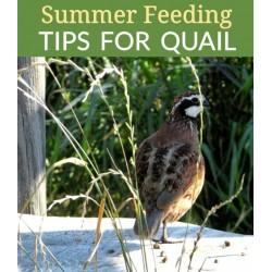 Feeding Quail